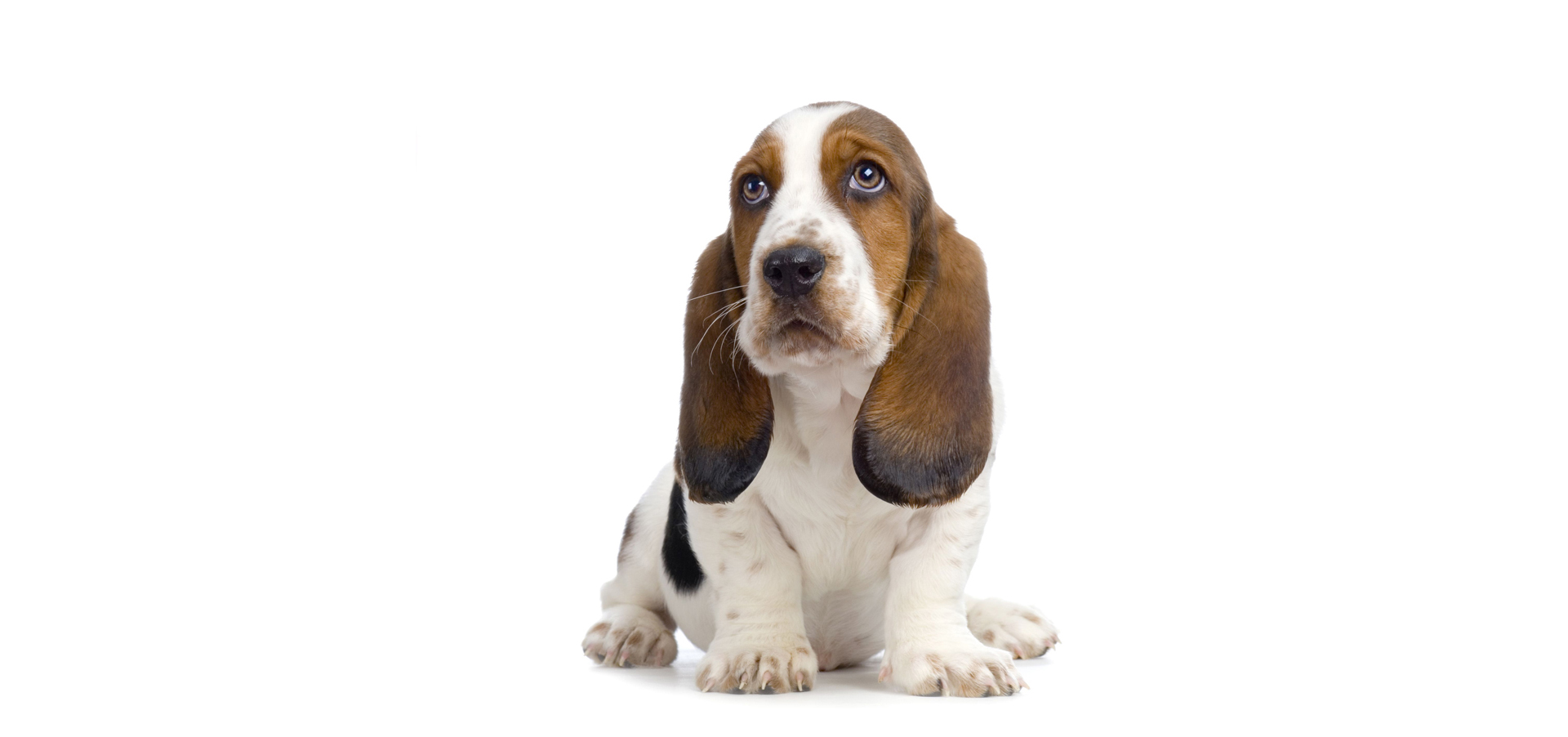 Basset-Hound-Dog-Insurance2