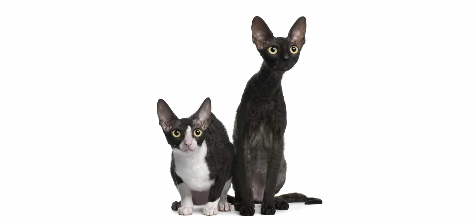 Cornish-Rex-cat-insurance2