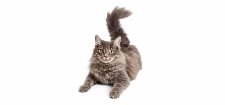 Domestic Medium Hair Cat insurance