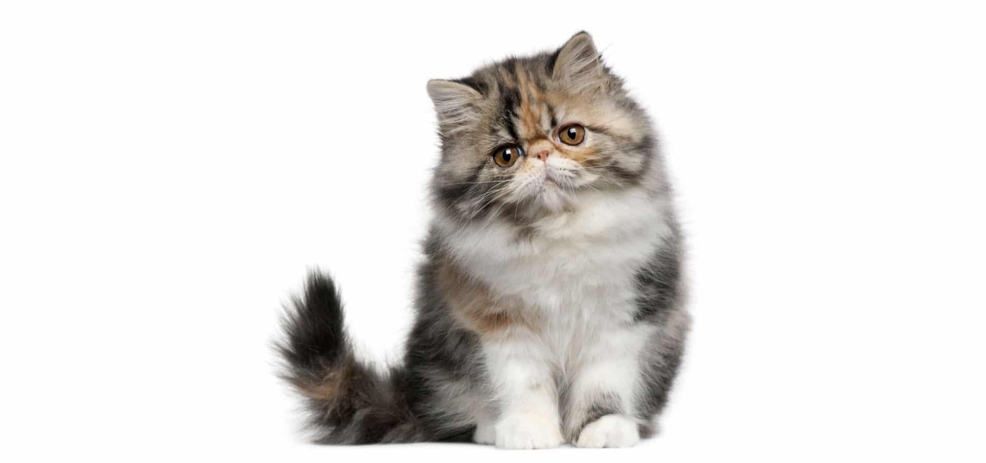 White Persian Cat Wallpaper