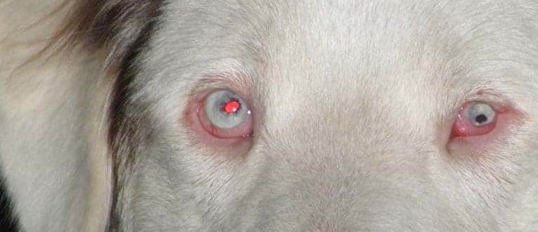 dog red eyes cataracts