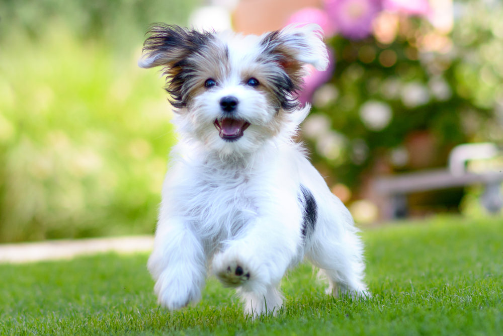Havanese Dogs Costs Care T More