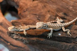 baby bearded dragons sitting on a log in the sun