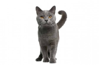 Chartreux Cat Insurance
